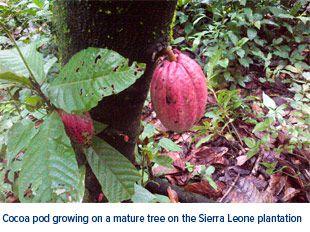 Cocoa Pod Sierra Leone