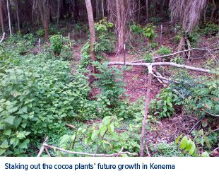 Cocoa Bean Plants Kenema