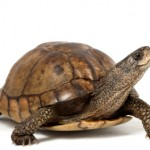 Coahuilan Box Turtle