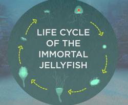 are jellyfish immortal