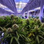 marijuana merger