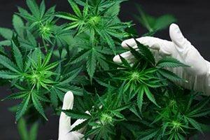 Cannabis Stock